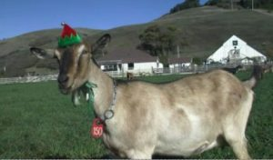 Goat christmas