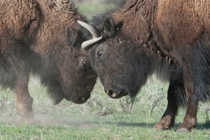 headbutt bison