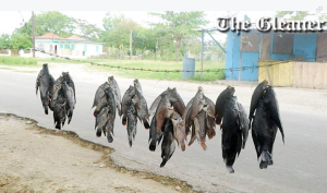 Fish stocks dying in river near Frome (Courtesy Jamaica Gleaner)